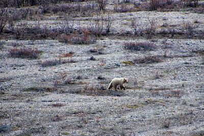 Grizzly Bear   Denali National Park, Alaska
