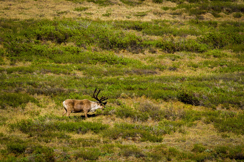 Lonely caribou quietly grazing.