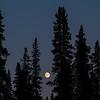 Sitka Spruce (looks like Pine trees) grows in abundance all over Alaska