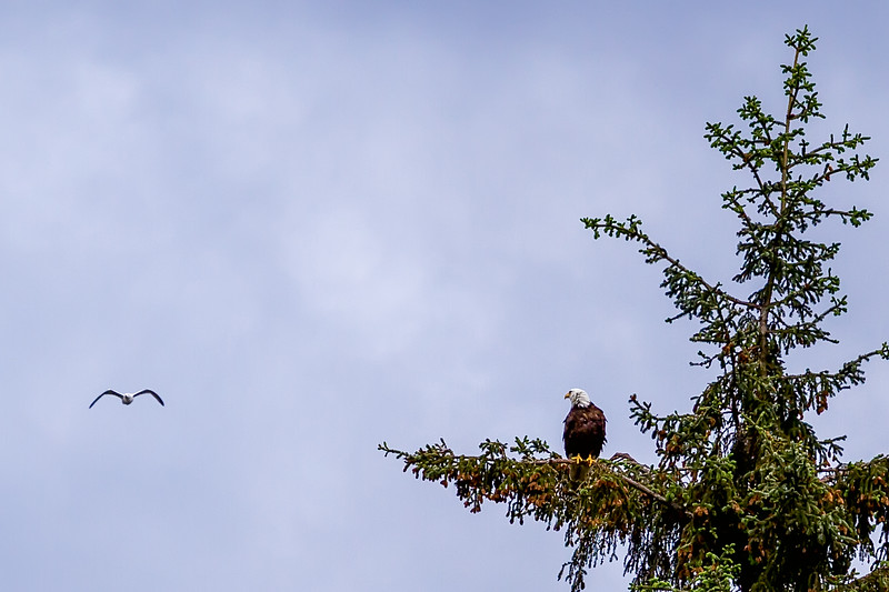 The seagull caught the bald eagle's attention