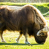 Muskox at Alaska Wildlife Conservation Center off Seward Highway.