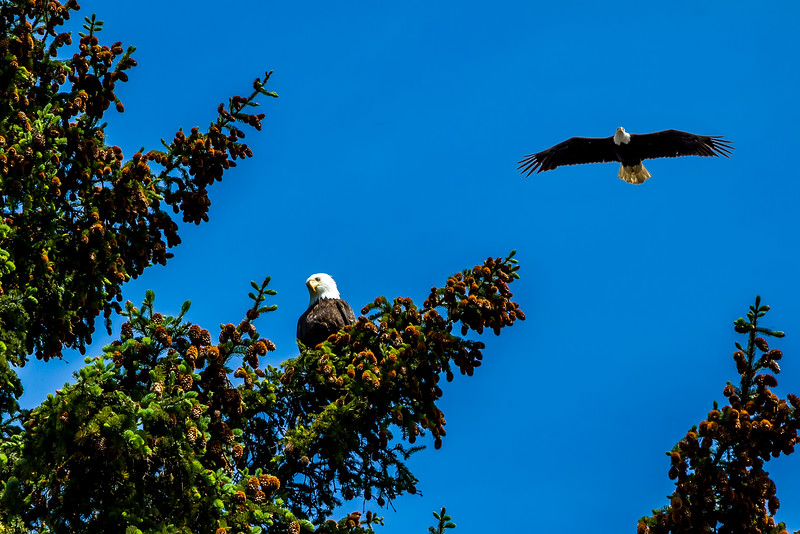 Bald Eagles at Icy Strait.