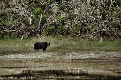 Brown Bear | Valdez, Alaska