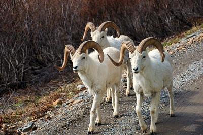 Dall Sheep | Denali National Park, Alaska