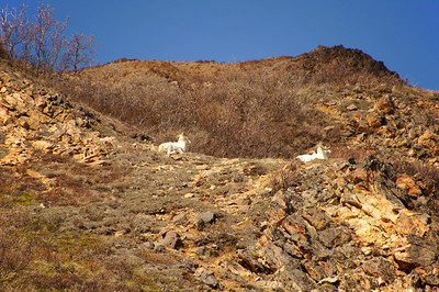 Dall Sheep | Denali National Park, Alaska