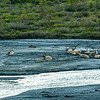 Caribous at Savage River in Denali.