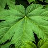 A Rhubarb leaf