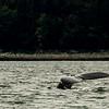 A humpback's fluke in Juneau