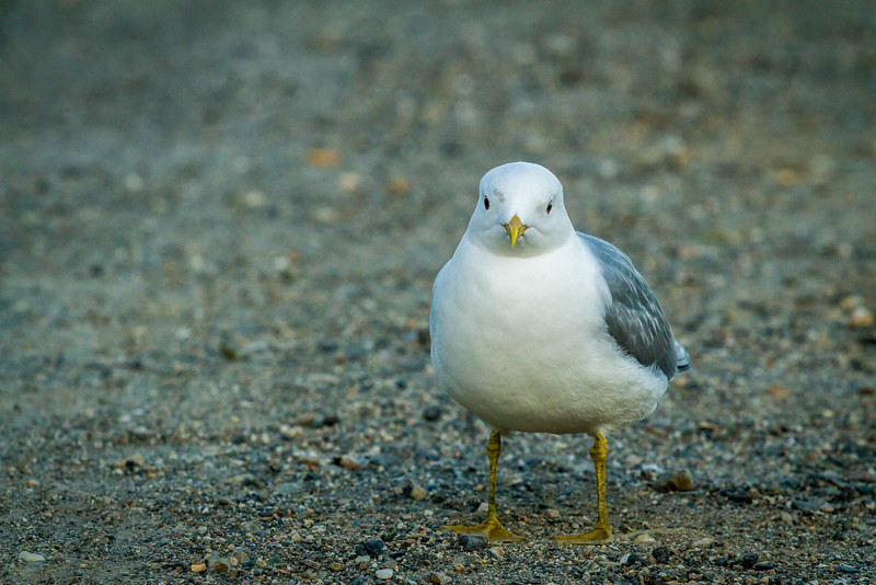 A seagull at Savage River