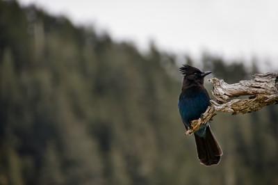 Blue Jay | Fox Island | Seward, Alaska