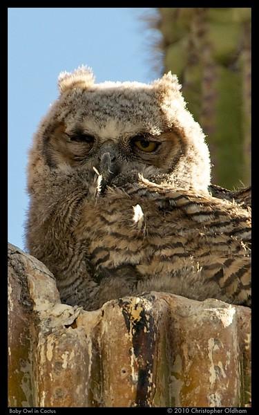 Baby Owl in Cactus