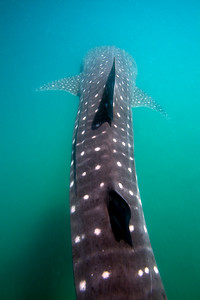 A young whale shark feeds in the shallow waters of La Paz Bay in Baja.