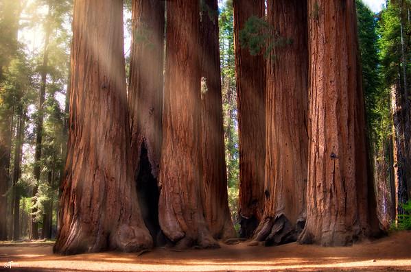 #1 - Sequoia Sentinals