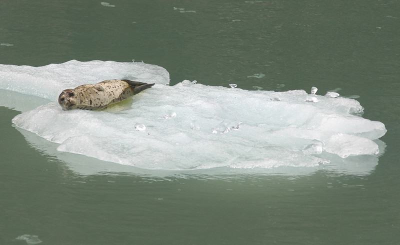 Another harbor seal.