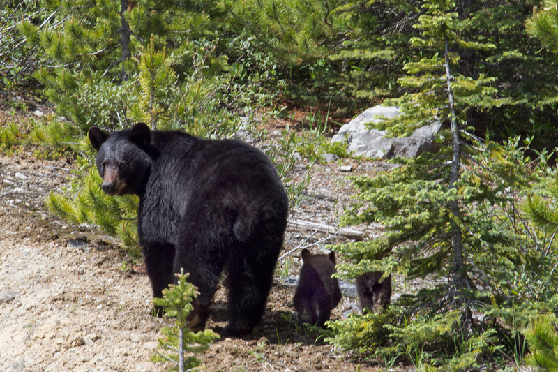 Black bear and cubs, Canadian Icefields
