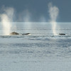 Humpback whale spouts