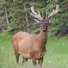 Elk, Alberta, Canada