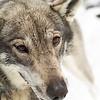 Sled Dog, Juneau, Alaska