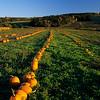 Field with pumpkins. Gaspereau Valley, Nova Scotia