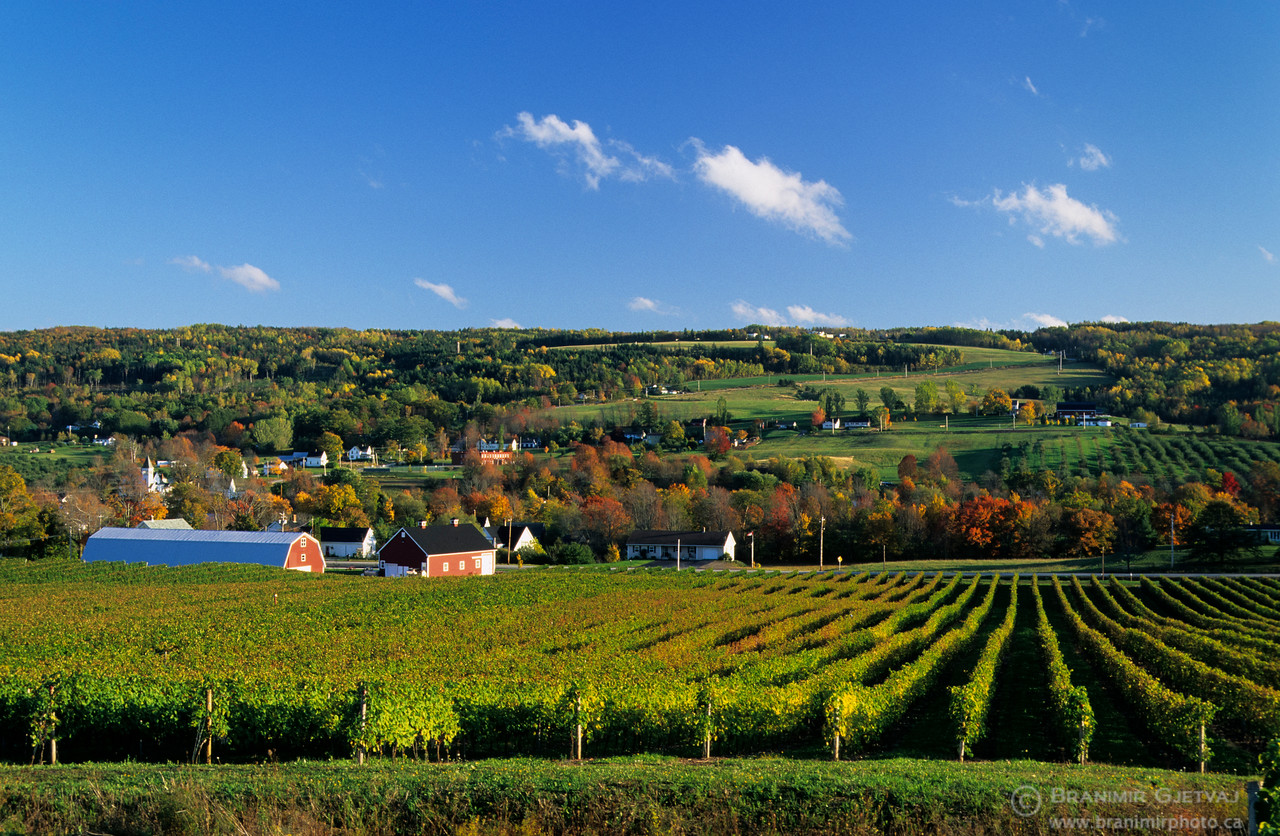Gaspereau Valley vineyard in autumn, Nova Scotia