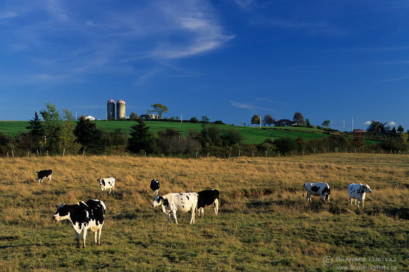 Cattle at a dairy farm. Shubenacadie, Nova Scotia