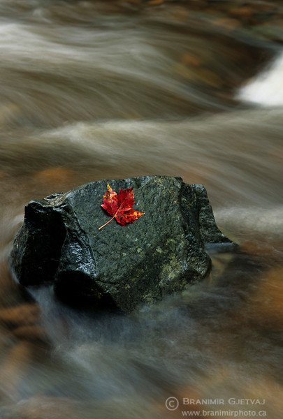 Red maple leaf on a rock. Wentworth Valley, Nova Scotia