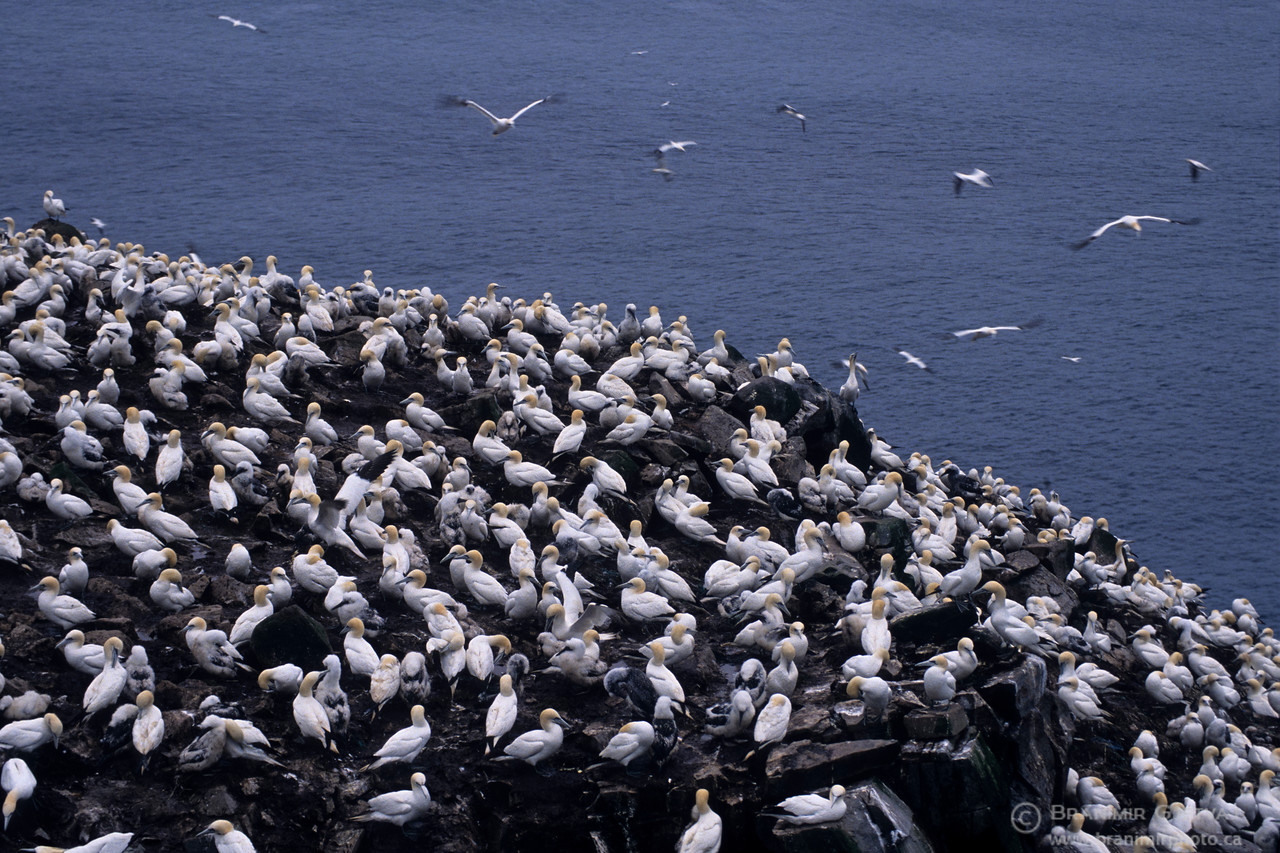 Northern Gannet bird colony at Cape St. Mary's Ecological Reserve, Newfoundland