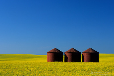 Red granaries in flowering canola field. Flaxcombe, Saskatchewan