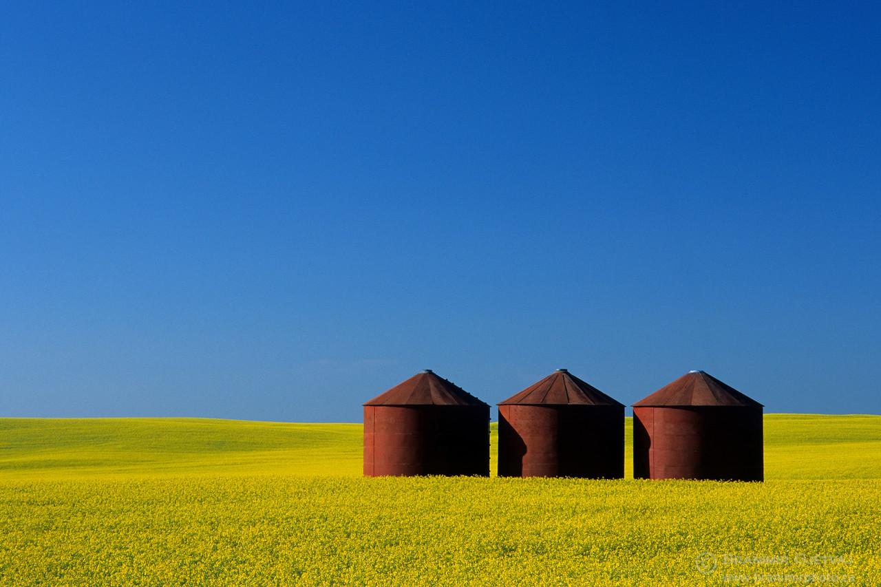 Red granaries in flowering canola field. Flaxcombe, Saskatchewan