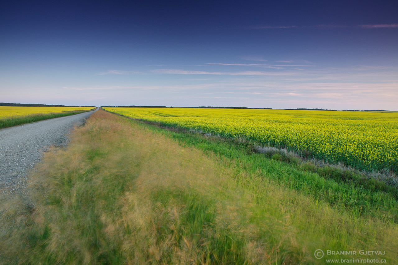 Flowering canola field near Alvena, Saskatchewan