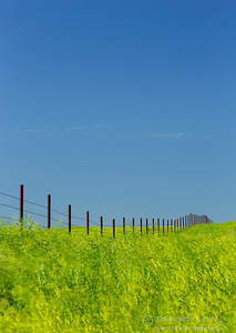 Fence in a field of yellow sweet clover, Saskatchewan