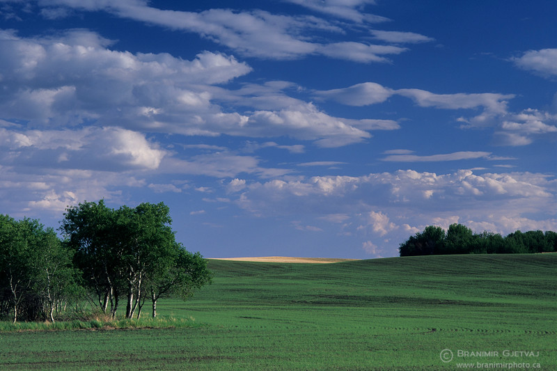 Wheat field with aspen trees in spring, Saskatchewan