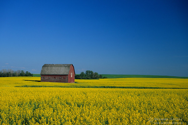 Red barn in canola field. Wakaw, Saskatchewan