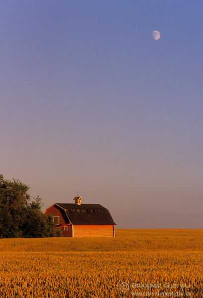 Moonrise over a red barn in wheat field. Arelee