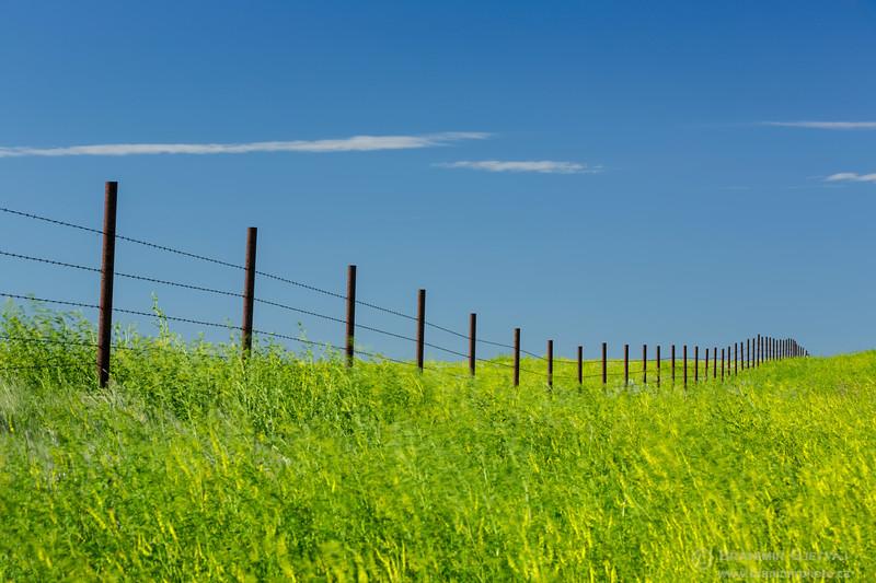 Fence in a field of yellow sweet clover, Saskatchewan