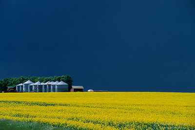 Granaries in flowering canola field near Kindersley