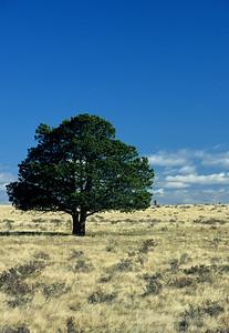 Lone pine tree in fescue prairie, Cypress Hills
