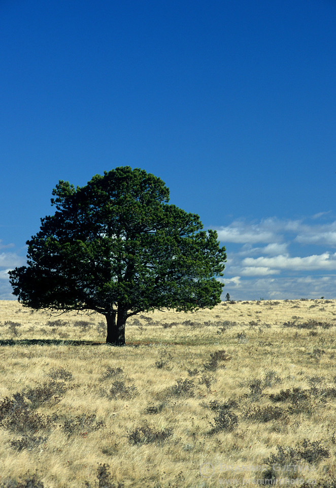 Lone pine tree in fescue prairie, Cypress Hills
