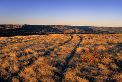 Tire tracks through fescue prairie at sunrise, Cypress Hills