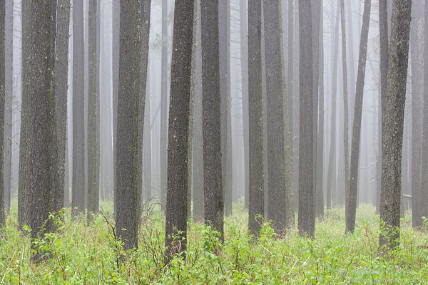 Lodgepole pine trees in fog, Cypress Hills