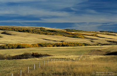 Prairie with aspen trees in autumn, Cypress Hills