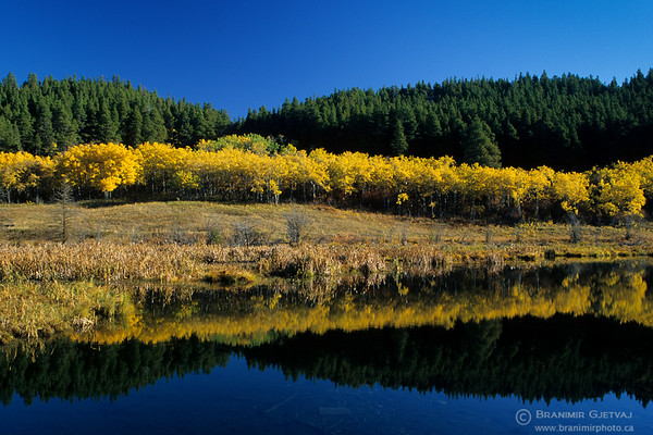 Aspen trees by a lake in autumn, Cypress Hills, Saskatchewan