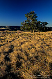 Pine tree in fescue prairie at sunrise, Cypress Hills