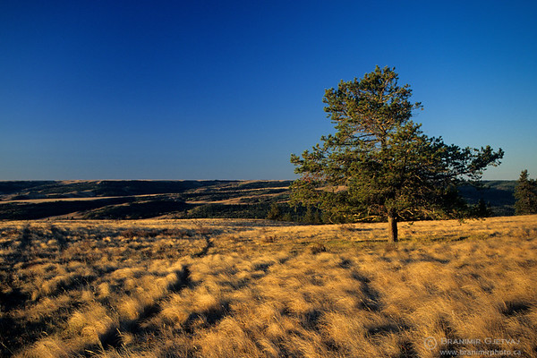 Pine tree in fescue prairie at sunrise, Cypress Hills