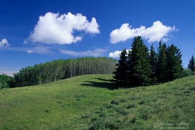 Pasture with aspen and conifer trees, Cypres Hills