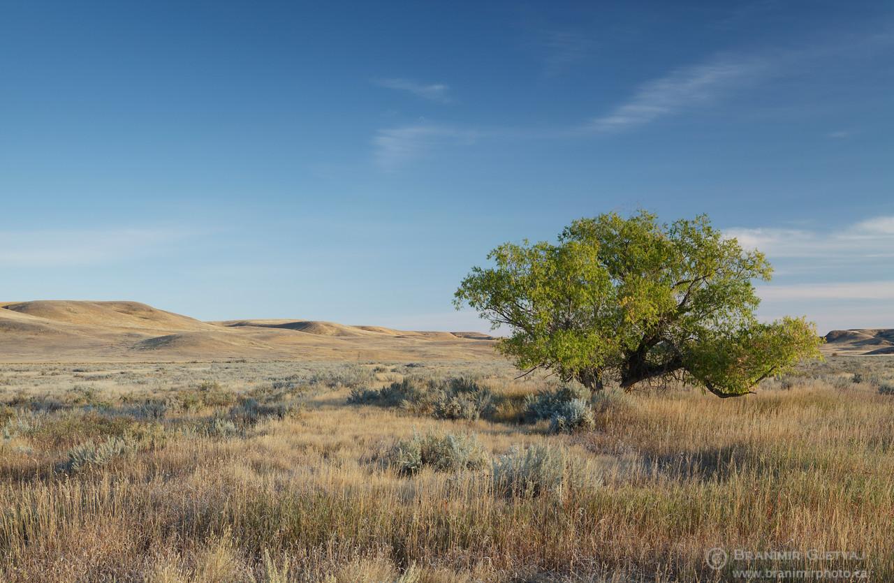 Lone cottonwood tree in prairie. Grasslands National Park, Saskatchewan