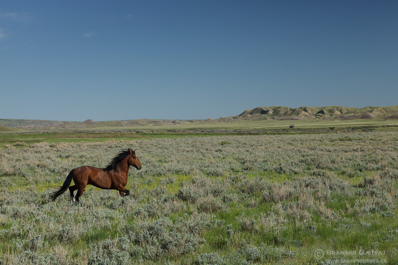 Stallion running through prairie. Grasslands National Park, Saskatchewan