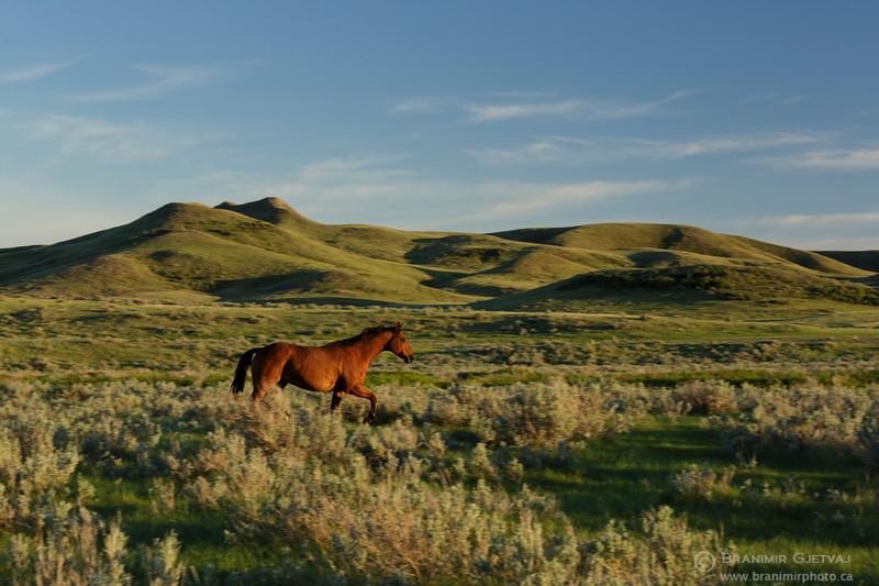 Stallion running through prairie with sage brush. Val Marie PFRA community pasture