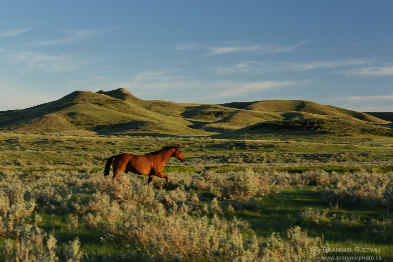 Stallion running through prairie with sage brush. Val Marie PFRA community pasture
