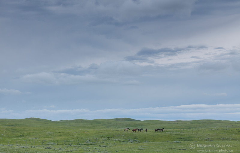 Horses in Auvergne-Wise Creek PFRA community pasture, Saskatchewan